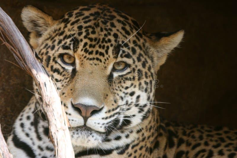 взгляд леопарда стоковые изображения rf