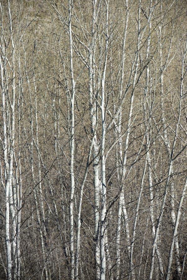 Взгляд леса тополя стоковые фотографии rf