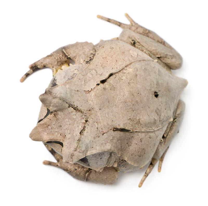 взгляд лягушки угла высоко horned длинний обнюханный стоковое фото