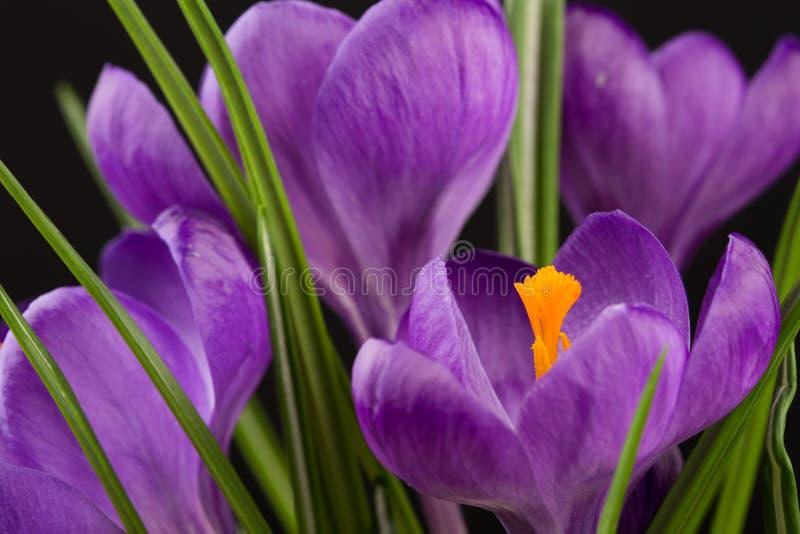 Взгляд макроса красивого цветка крокуса на черноте r стоковые изображения rf