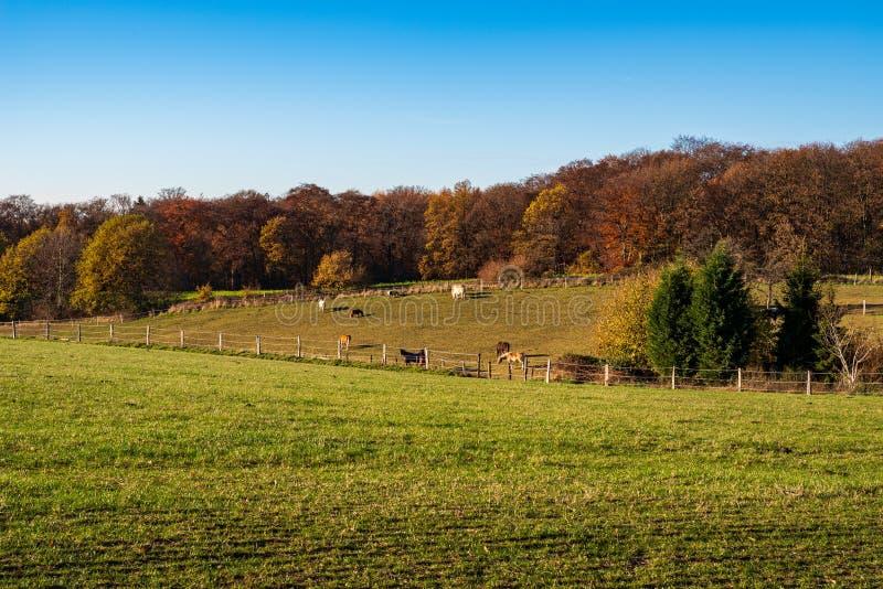 Взгляд над лугами и лесом, лошадями пасет на paddock в осеннем ландшафте, Эссене стоковое фото rf