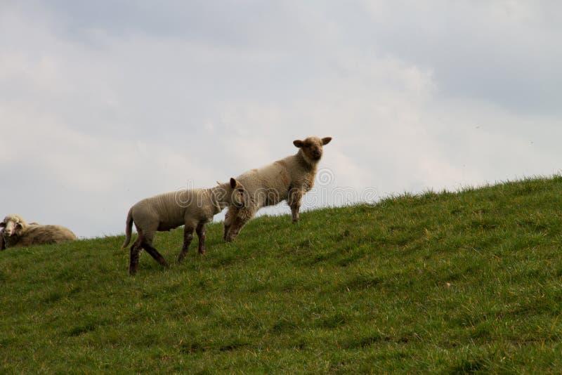 Взгляд на 2 белых овцах на площади пастбищ и лугов под облачным небом в emsland Германии rhede стоковая фотография