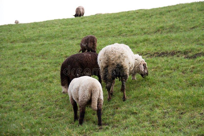 Взгляд на группе в составе трава овец питаясь на площади пастбищ и лугов под облачным небом в emsland Германии rhede стоковое фото rf