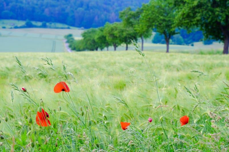 Взгляд на красивом поле с молодыми головами пшеницы, красными щенятами и аграрными полями стоковое изображение rf