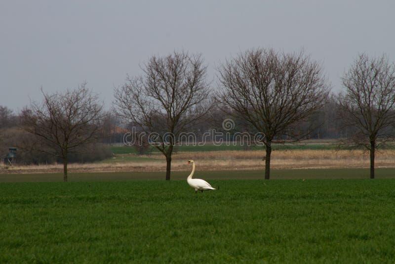 Взгляд на площади пастбищ и лугов с лебедем в emsland Германии rhede стоковое изображение rf