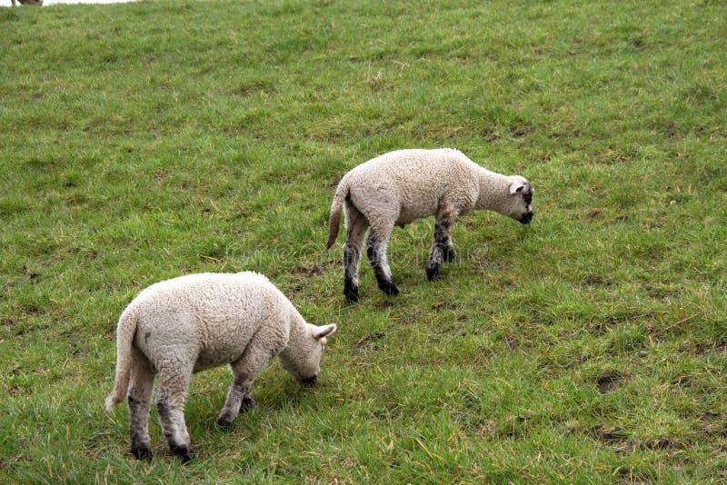 Взгляд на траве 2 маленькой белых овец питаясь на площади пастбищ и лугов под облачным небом в emsland Германии rhede стоковые фото