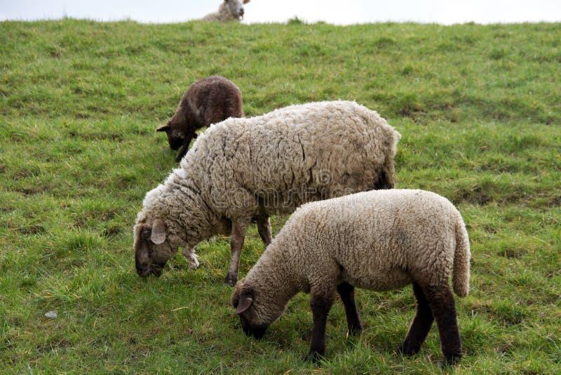 Взгляд на траве 3 овец питаясь на площади пастбищ и лугов под облачным небом в emsland Германии rhede стоковые фото