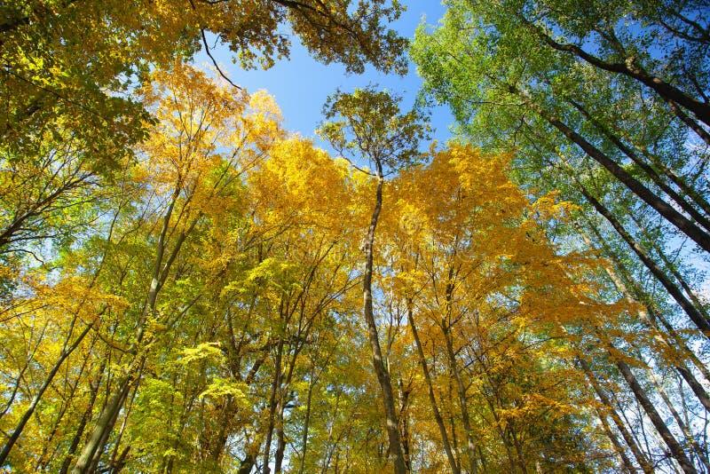 Взгляд неба через деревья леса в осени стоковые фотографии rf