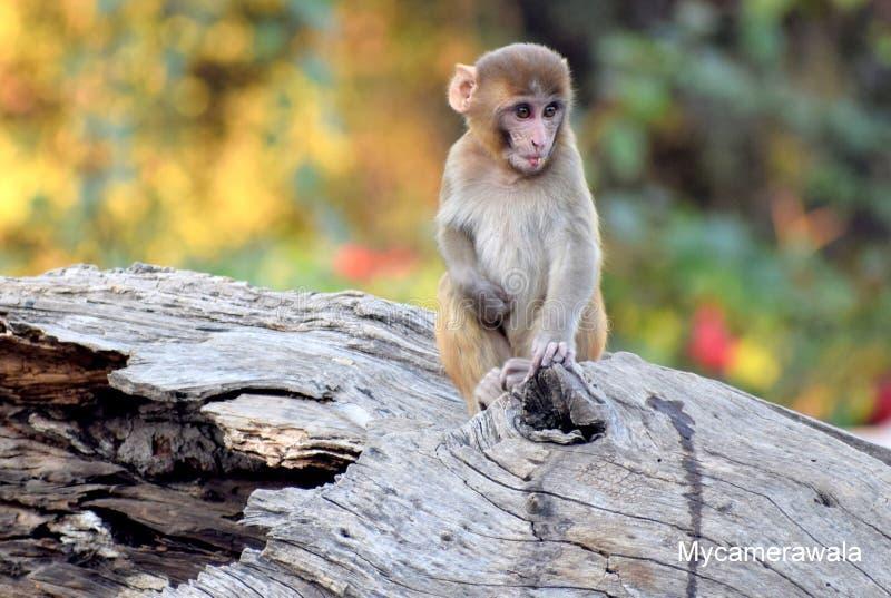 Взгляд обезьяны младенца на мне стоковые изображения