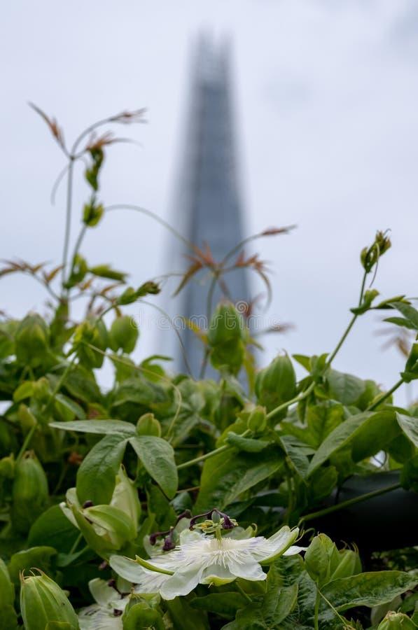Взгляд от сада крыши моста карамболя, Лондона Великобритании Белый цветок страсти в фокусе в переднем плане Небоскреб черепка в м стоковое изображение