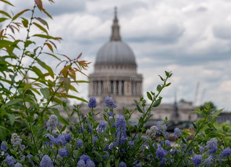 Взгляд от сада крыши моста карамболя, Лондона Великобритании Голубые цветки ceanothus в переднем плане Купол St Paul фокуса внутр стоковая фотография