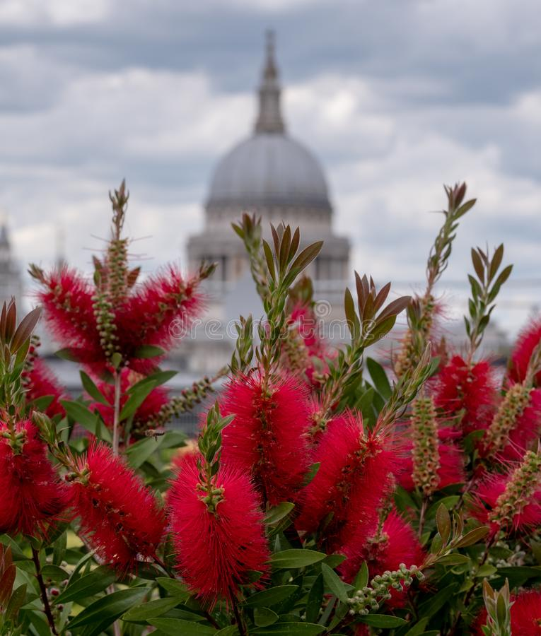 Взгляд от сада крыши моста карамболя, Лондона Великобритании Красный bottlebrush в фокусе в переднем плане Купол St Pauls в мягко стоковые фотографии rf