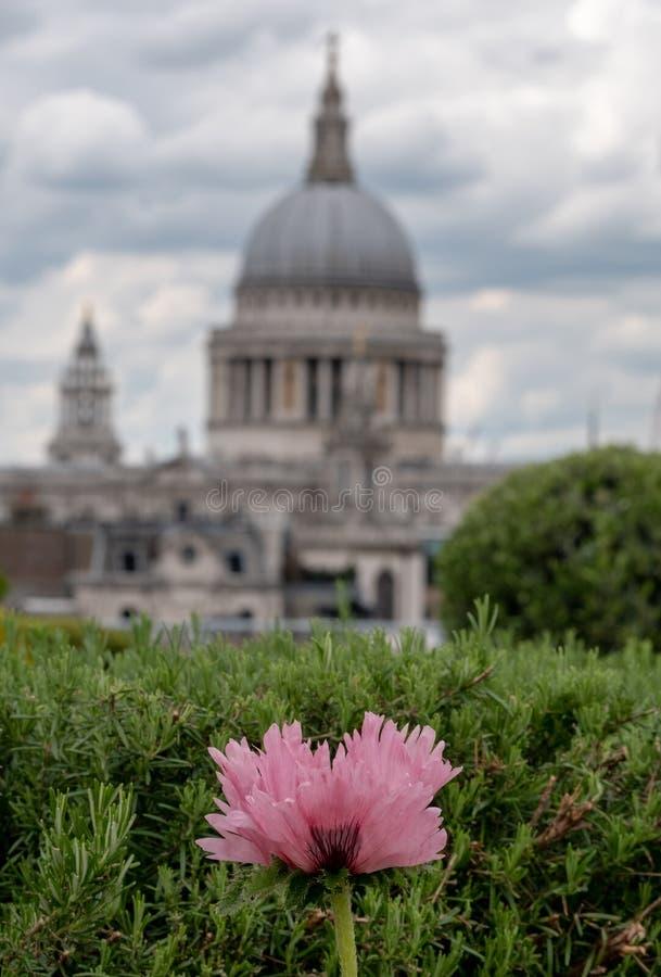 Взгляд от сада крыши моста карамболя, Лондона Великобритании Мак в переднем плане Купол собора St Paul в мягком фокусе в расстоян стоковое изображение