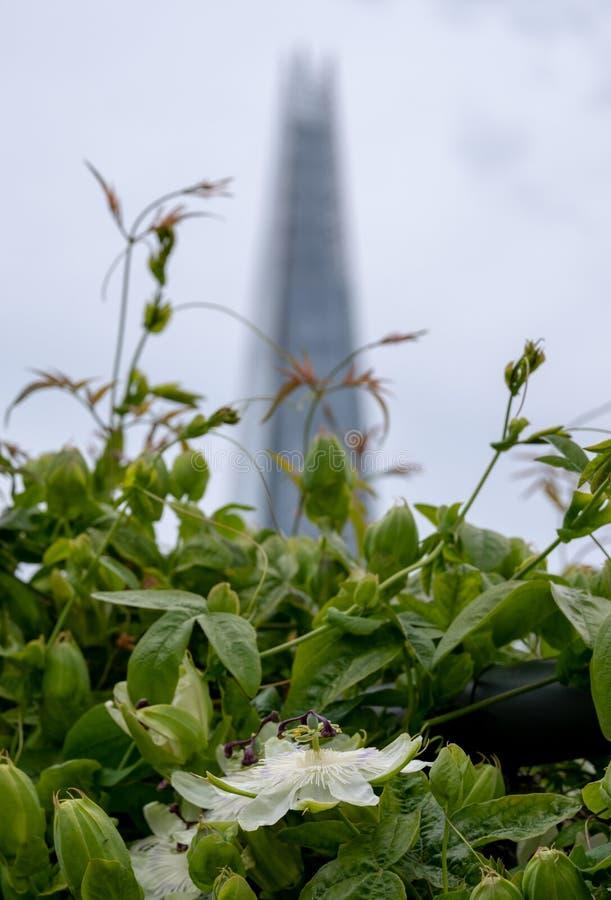 Взгляд от сада крыши моста карамболя, Лондона Великобритании Цветок страсти в фокусе в переднем плане Небоскреб черепка в мягком  стоковое изображение rf