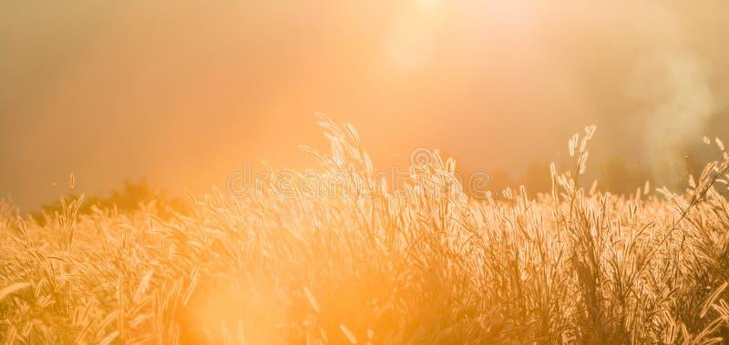 Взгляд панорамы, установка солнца через горы на тропическом злаковике Трава искусства прозрачная дикая полностью зацветает в весе стоковые фото