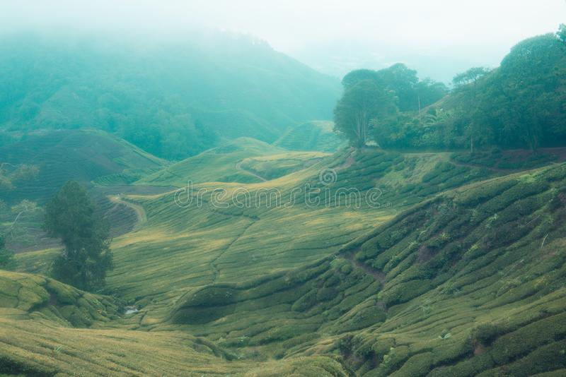 Взгляд плантаций чая стоковая фотография