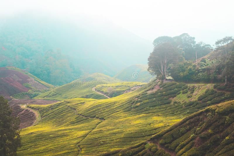 Взгляд плантаций чая стоковое фото rf