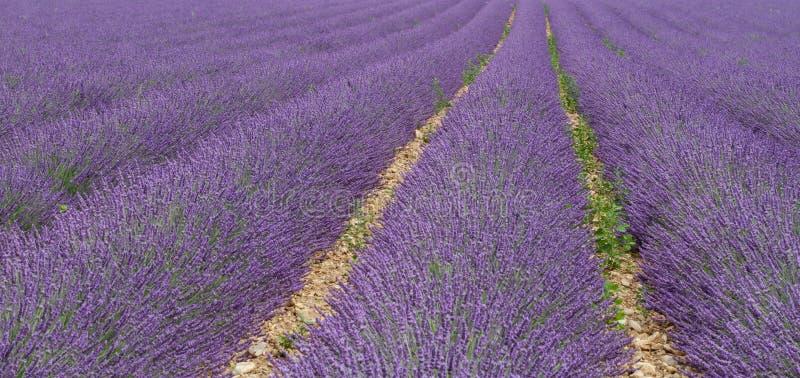Взгляд полей лаванды в Провансали стоковая фотография rf