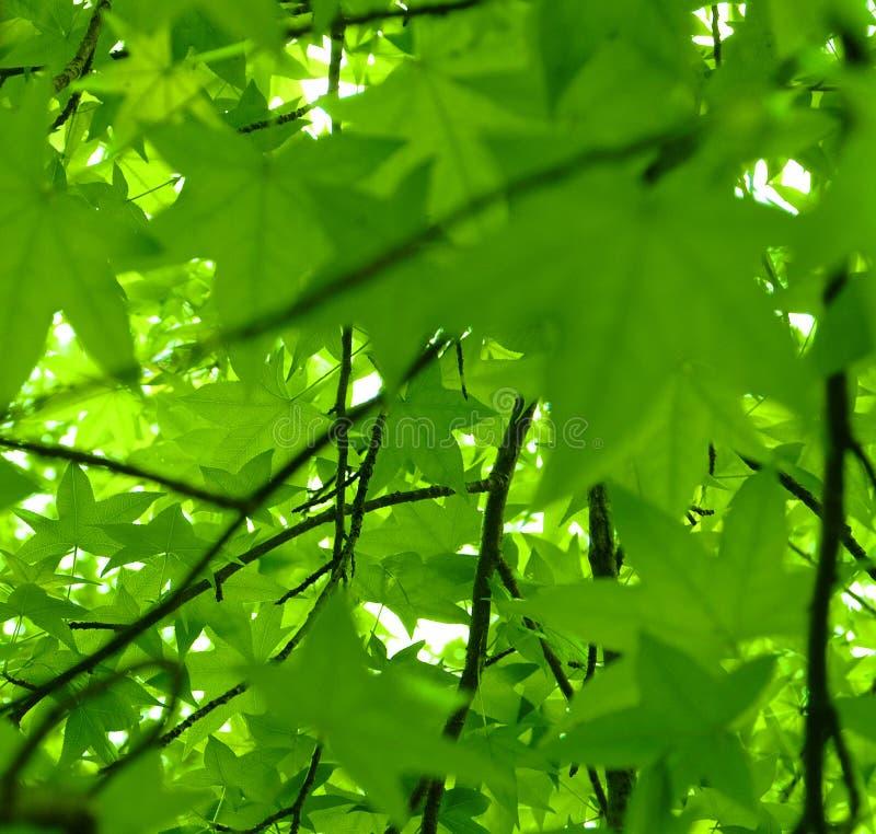 взгляд помадки styraciflua весны liquidambar листьев камеди стоковая фотография rf