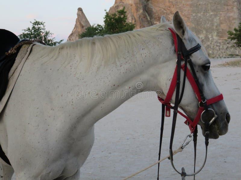 Взгляд профиля красивой белой лошади стоковые изображения