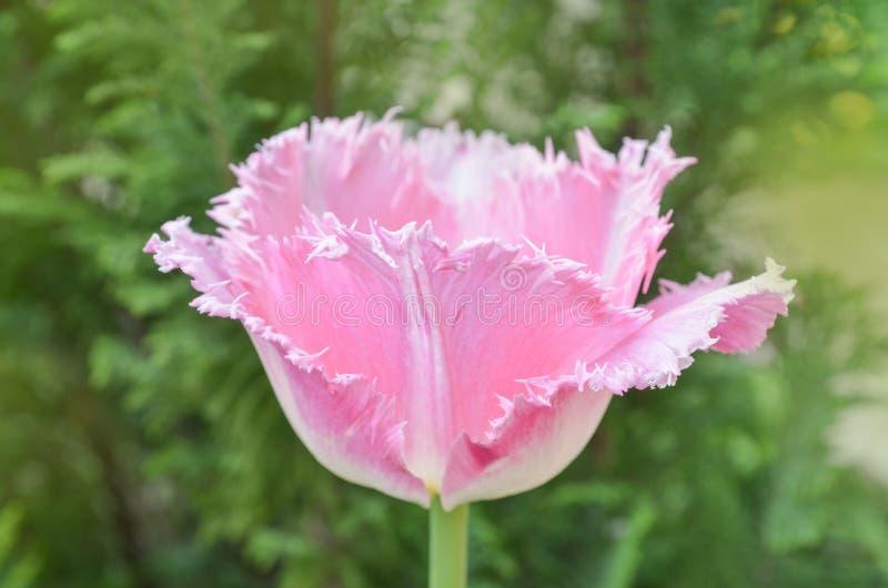 Взгляд розового crispa тюльпана новый стоковые изображения