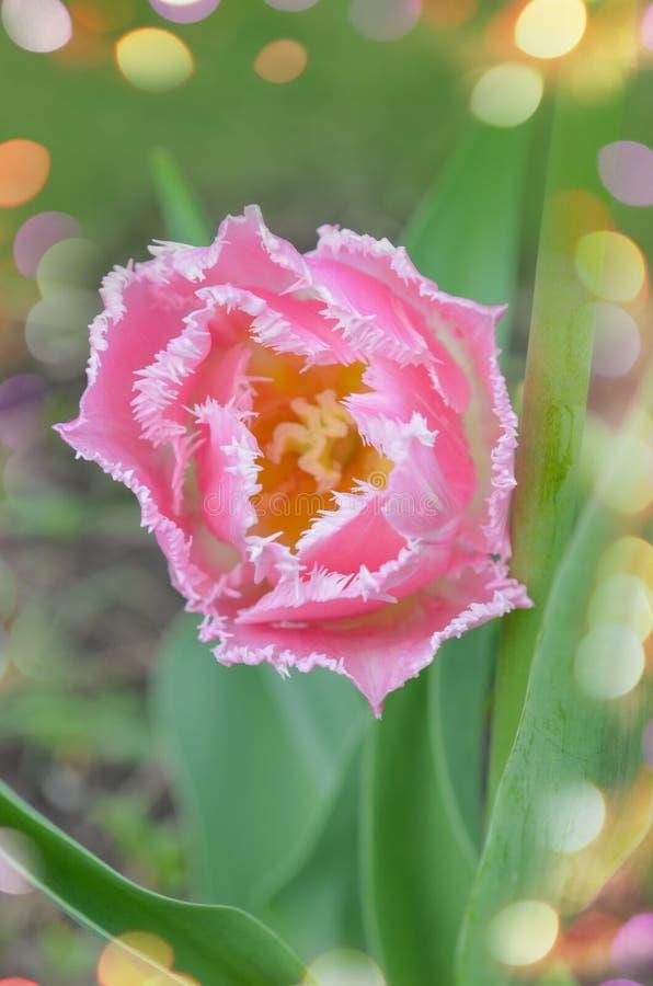 Взгляд розового crispa тюльпана новый стоковое фото