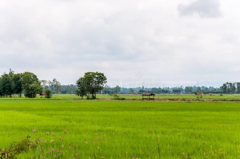 Взгляд свежих рисовых полей со светлым туманом стоковое фото rf