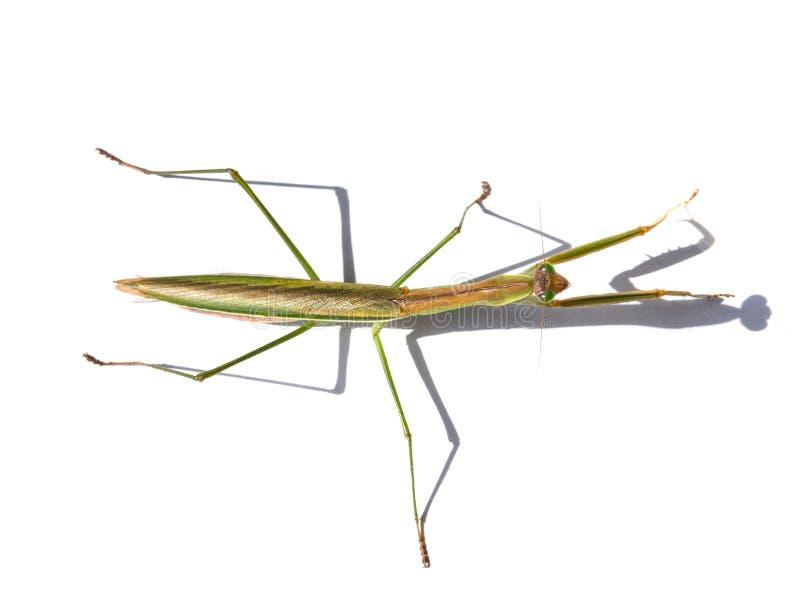 Взгляд сверху азиата зеленого имени patellifera Hierodula общего гигантского, или Mantis Harabiro, вид богомолов стоковая фотография rf