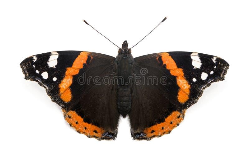 Взгляд сверху бабочки красного адмирала, atalanta Ванессы стоковая фотография rf