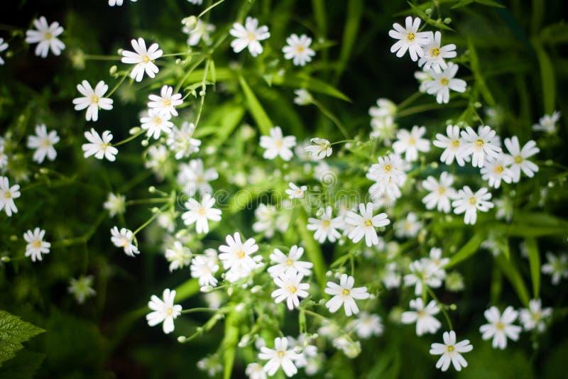 Взгляд сверху белых полевых цветков и зеленой травы стоковая фотография