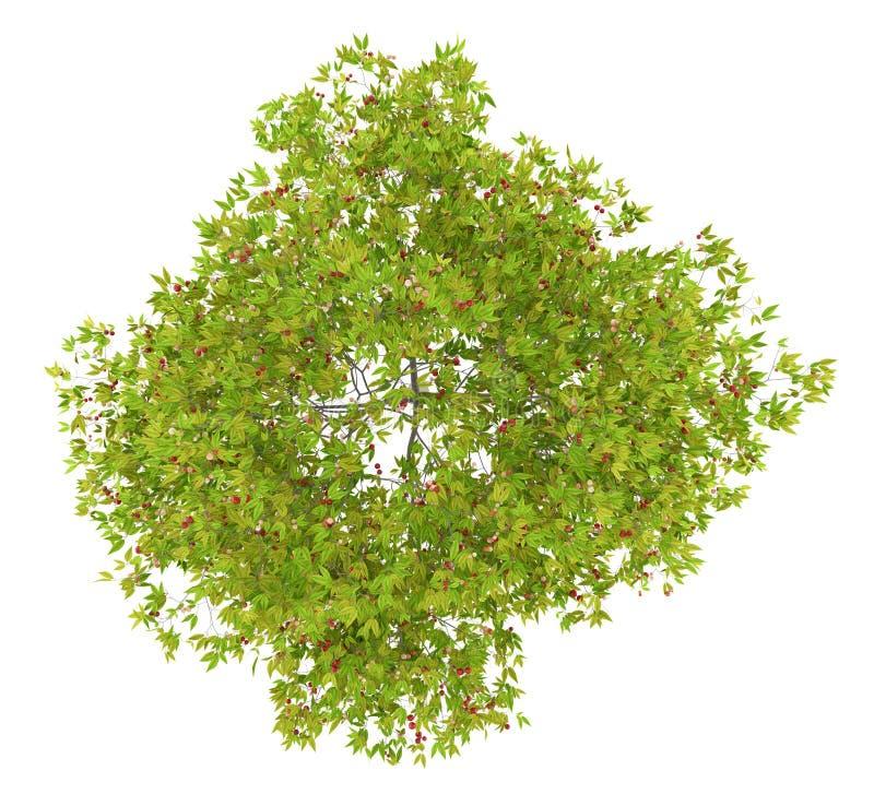 Взгляд сверху вишневого дерева при вишни изолированные на белизне бесплатная иллюстрация