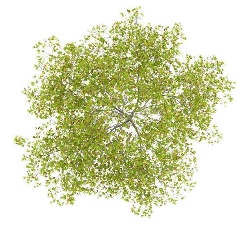 Взгляд сверху вишневого дерева при вишни изолированные на белизне иллюстрация вектора