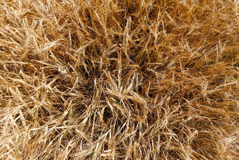 Взгляд сверху золотого пшеничного поля готов для ушей предпосылки сбора зрея желтого пшеничного поля против голубого неба Спа экз стоковые фотографии rf