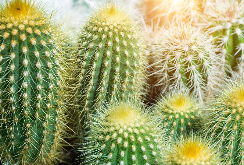 Взгляд сверху кактуса СОЛНЦА стоковые фото