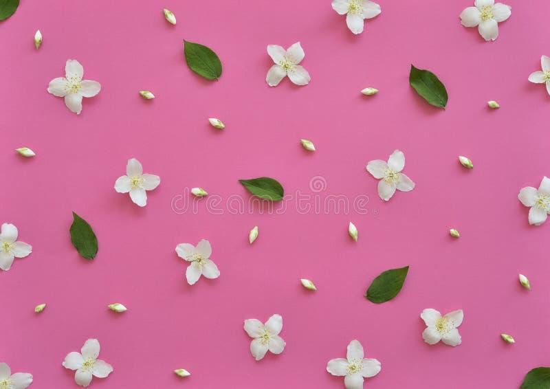 Взгляд сверху картины цветков жасмина, плоское положение Цветочный узор на яркой розовой предпосылке стоковое изображение