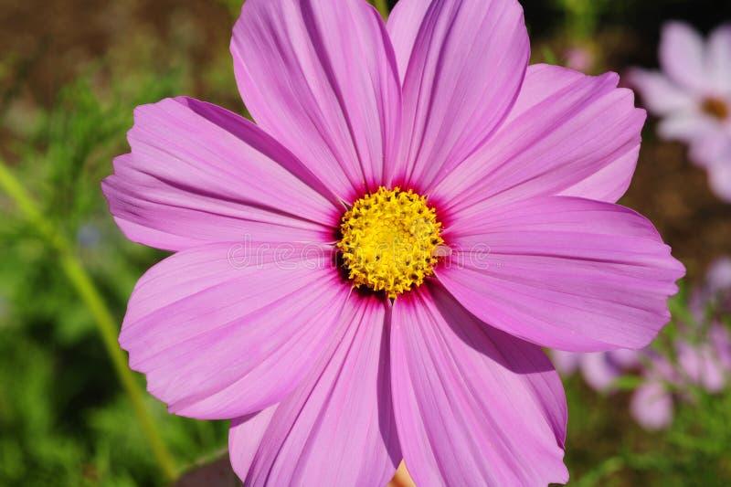 Взгляд сверху, конец макроса вверх пурпурного цветка космоса в цветени стоковое фото rf