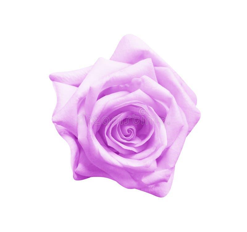 Взгляд сверху красочных пурпурных розовых цветков зацветая изолированный на белой предпосылке, красивых естественных картинах стоковые фотографии rf