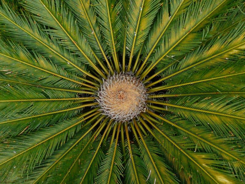 Взгляд сверху ладони формируя cirular предпосылку картины со своими зелеными листьями стоковое изображение