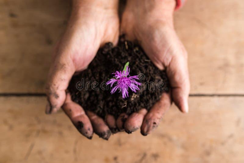 Взгляд сверху пакостных рук держа dainty фиолетовый цветок в богатом f стоковые изображения rf