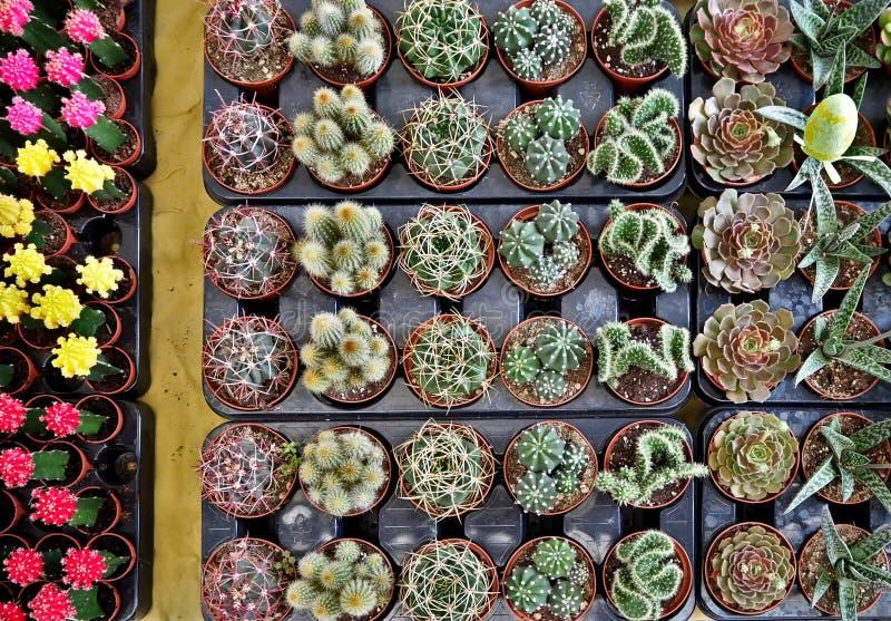 Взгляд сверху разных видов небольших суккулентных заводов в стойке цветочного магазина стоковое изображение rf