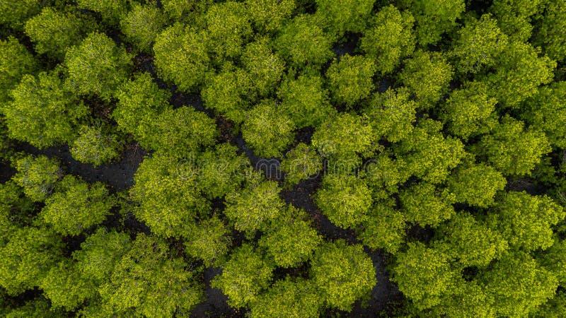 Взгляд сверху ремня Prong inTung мангров леса или золотого Mangro стоковое фото