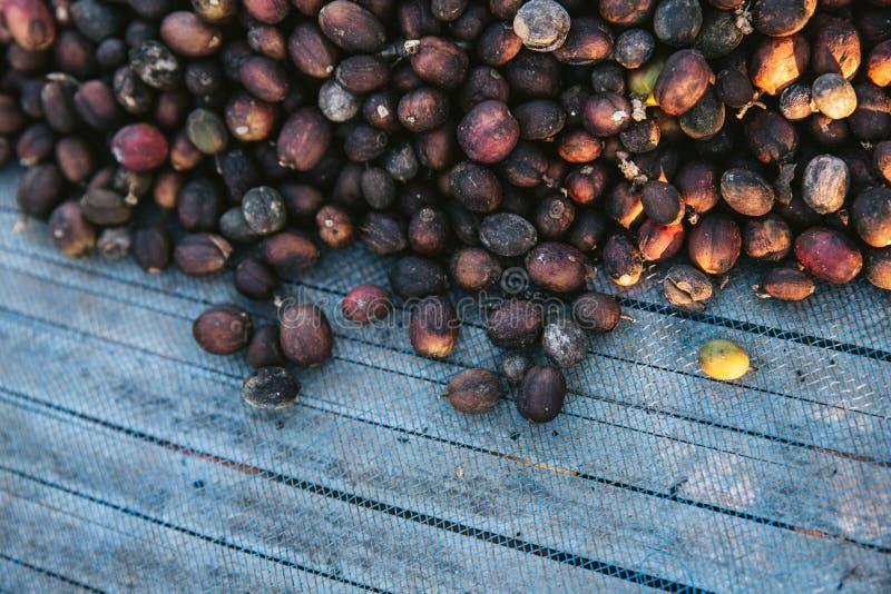 Взгляд сверху Солнца высушил ягоды кофе Arabica на голубой сети с космосом экземпляра в деревне Akha Maejantai на холме в Chiangm стоковые фотографии rf
