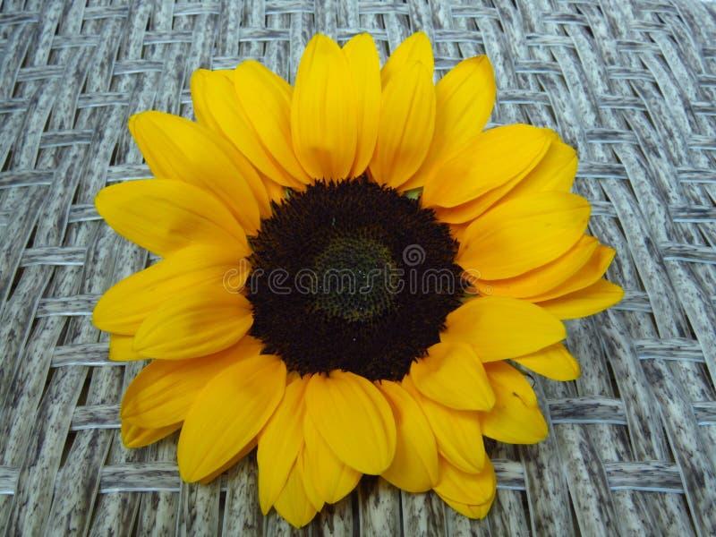 Взгляд сверху солнцецветов желтого оранжевого лета Sunrich высокорослых на текстуре предпосылки ротанга стоковая фотография rf