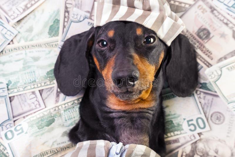 Взгляд сверху счастливой таксы породы ‹â€ ‹â€ собаки, черный и загорает, лежит на куче долларов фальшивых денег в уголовном костю стоковые изображения