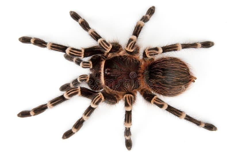 взгляд сверху tarantula стоковая фотография