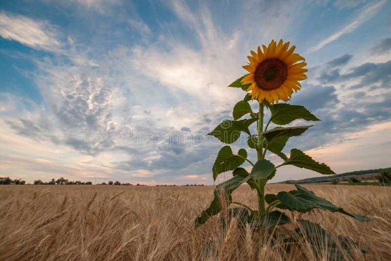 Взгляд сельскохозяйственных угодиь с полем солнцецветов стоковые изображения rf