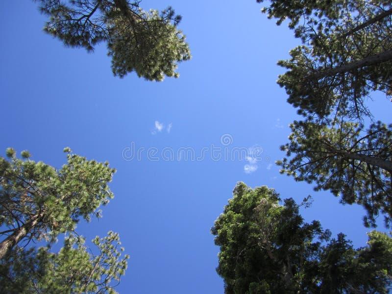 Взгляд смотря вверх на treetops стоковые фотографии rf