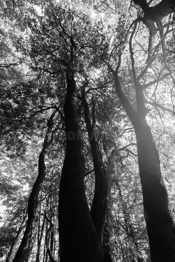Взгляд снизу некоторых высоких деревьев весной против солнца стоковая фотография
