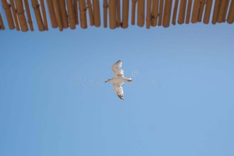 Взгляд снизу чайки летания стоковое фото rf