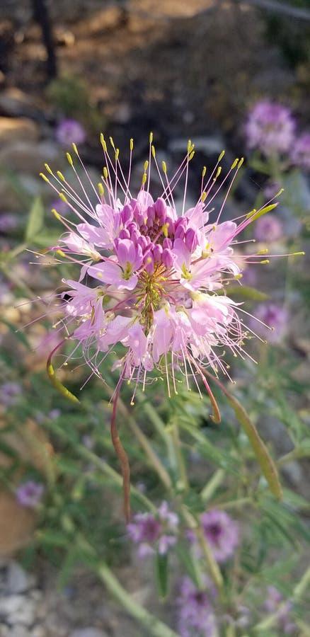 Взгляд со стороны и детали красивого розового завода пчелы скалистой горы от Невады стоковое фото rf